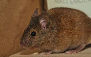 К чему снятся мыши в доме