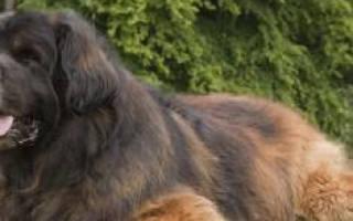 К чему снится большая добрая собака