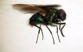 Сонник к чему снятся мухи много мух