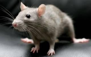 К чему снится мышонок в руках