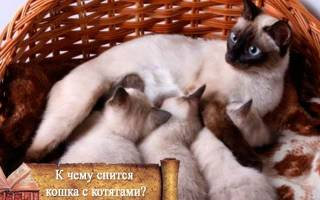 К чему снятся кошки и котята много