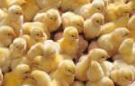 К чему снятся цыплята женщине