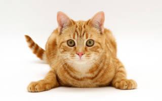 Сонник к чему снится кот рыжий