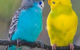 К чему снится попугай волнистый в руках