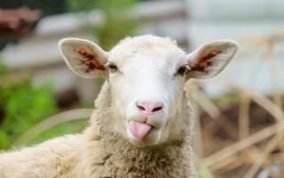 Сонник овечка белая