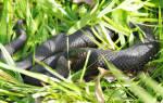 Что означает черная змея во сне
