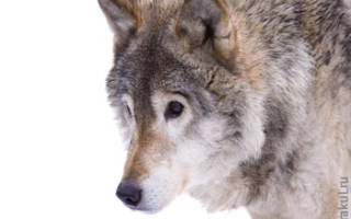 Убить волка во сне