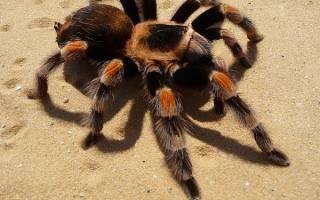 Сон паук большой