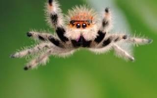 Сонник паук большой черный мохнатый