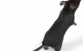 Во сне убить мышь что означает