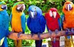 Сонник попугаи много