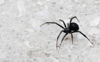 К чему снится большой черный паук женщине