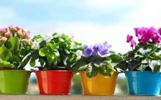 Цветы в горшках сонник