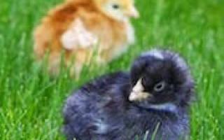 Видеть во сне цыплят много