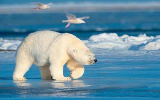 Видеть во сне белого медведя для женщины