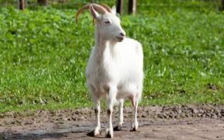 Видеть во сне козу белую