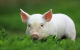 Сонник свинья во сне