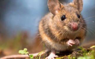 Во сне видеть мышей маленьких
