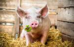 Сонник приснилась свинья