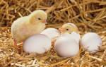 К чему снятся цыплята много маленьких