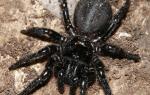 К чему снится огромный черный паук