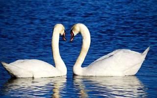Видеть во сне лебедей на воде