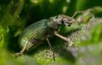 К чему снятся черные жуки