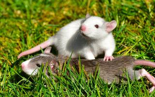 Сон мыши маленькие
