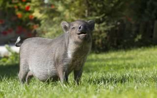 До чого сниться свиня