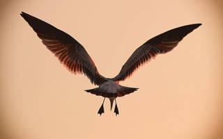 Крылья белые сонник