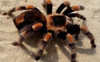К чему снится тарантул женщине