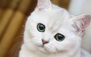 Видеть во сне белую кошку