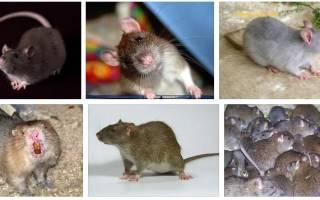К чему снится крыса во сне женщине