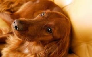 К чему снится большая рыжая собака