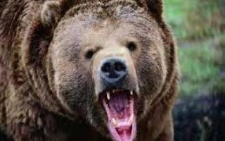 Сонник белый медведь гонится