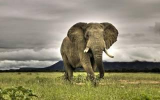 К чему снится маленький слон