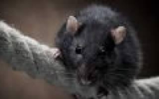 К чему снится черная крыса