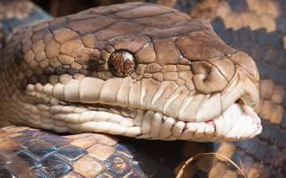 К чему снится змея питон