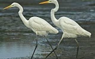 К чему снится большая белая птица