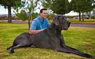 К чему снится большая черная собака добрая