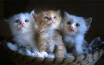 К чему снятся котята маленькие