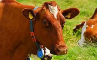 Корова сонник толкование