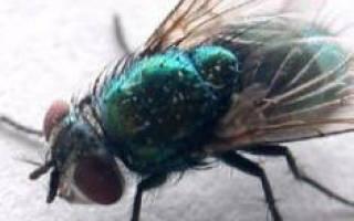 Видеть во сне много мух