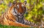 Сонник тигр нападает во сне