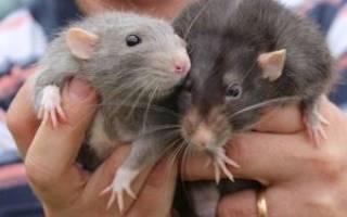 Що означає коли сниться щур