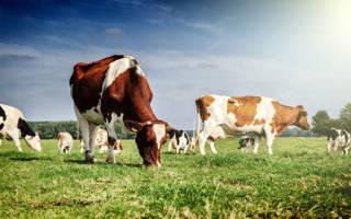 К чему снятся коровы во сне
