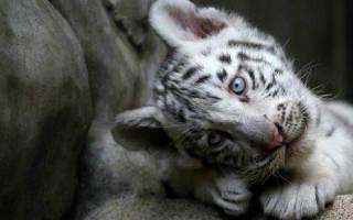 Белый тигр во сне