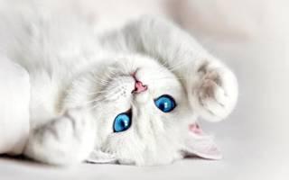 Сон белая кошечка