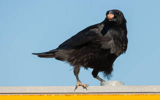 Сонник к чему снится ворона