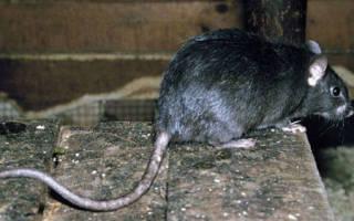 К чему снится укус крысы за ногу